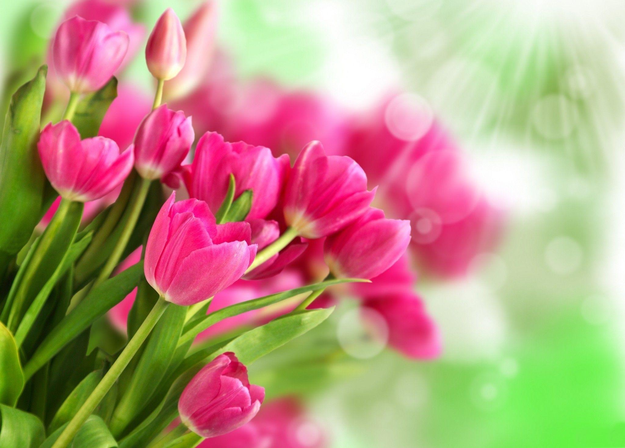 tulipani-rosa-197166